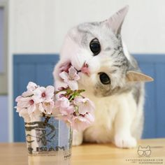 From @rubyeve12: The cherry blossoms smell too good! I have to try it!! #twitterweek #catsofinstagram  #TwitterWeek: Follow us on Twitter for a chance to be featured this week! [source: http://ift.tt/1SdCNlv ]