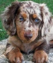 Dapple Dachshunds Chocolate Blue Merle Australian Shepard, possibly long haired dachshund? - Chocolate Blue Merle Australian Shepard, possibly long haired dachshund? Dapple Dachshund Puppy, Long Haired Dachshund, Daschund, Mini Dachshund, Cute Puppies, Cute Dogs, Dogs And Puppies, Doggies, Azul Merle