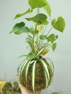Kokedama Moss Ball - How to Start a Vertical Garden - Japanese moss balls, also called bonsai Kokedama, look great hanging in homes, on a lanai or porch or on trellises and arbors. Making a Kokedama moss ball can be a fun way of getting your hands dirty and it's easier to make these hanging plants than one might imagine / Geoponi