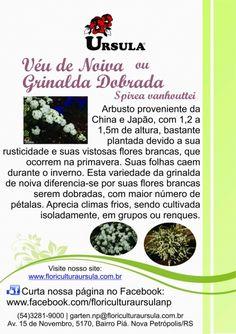 Véu-de-noiva, Buquê-de-noiva, Grinalda-dobrada, Spirea cantoniensis. Floricultura Ursula.