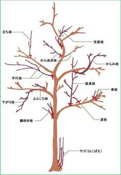 Wondering How Bonsai Trees Are Made? Bonsai Fruit Tree, Pruning Fruit Trees, Bonsai Tree Care, Bonsai Plants, Bonsai Garden, Japanese Plants, Japanese Tree, Bonsai Pruning, Tree Pruning