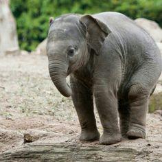 baby elephant -- so cute! Elephants Never Forget, Save The Elephants, Asian Elephant, Elephant Love, Elephant Facts, Animals And Pets, Baby Animals, Cute Animals, Baby Hippo