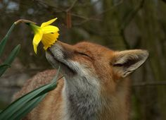fox & daffodil - even the fox takes time to smell the flowers...<--I think the animals are more evolved than the humans most times.
