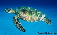 Green Sea Turtle - Sea Turtle Conservancy   http://www.conserveturtles.org/seaturtleinformation.php?page=green#