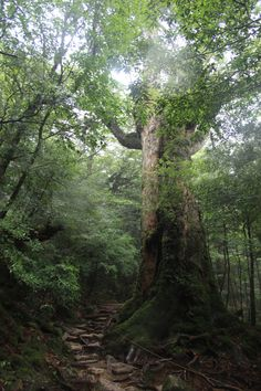 Ancient cedar, Yakushima Japan