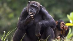 A Chimpanzee in a nutshell: innovation for innovation's sake, cleverness for cleverness' sake, and a wink and a nod to those too slow to keep up. Eschewing the pragmatic goals of the Killer Whale and Spider, and far flashier than the understated Owl, Chimpanzees view themselves as a different...