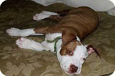 Redondo Beach, CA - American Pit Bull Terrier Mix. Meet Anna Rose, a dog for adoption. http://www.adoptapet.com/pet/11263495-redondo-beach-california-american-pit-bull-terrier-mix
