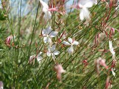 1000 id es sur le th me vivaces en plein soleil sur pinterest plantes vivaces plantes couvre - Pensee fleur vivace ou annuelle ...