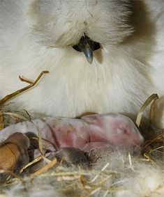 BABYSITTING: This ever-so-slightly-confused silkie bantam is co-mothering five tiny Flemish Giant rabbits that were born in her nest.