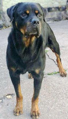 Jack is a Rottweiler available to adopt from the charity Rottweiler Welfare Association http://www.charitychoice.co.uk/blog/six-specialist-dog-breed-rescue-shelters/99