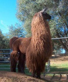 Image result for argentine llama Llama Alpaca, Animals, Image, Instagram, Animaux, Animal, Animales, Animais