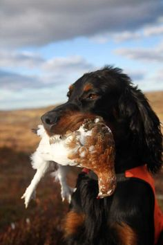 Gordon Setter, a hunting dog