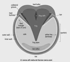 Diagram of a healthy horse hoof Learn about horses hooves and Laminitis in horses Horse Camp, My Horse, Horse Love, Arte Equina, Horse Information, Horse Anatomy, Foot Anatomy, Horse Care Tips, Horse Facts
