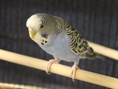 Parakeets waiting to meet you and follow you home -- come in and opt to adopt a couple of these lovely, lively and beautiful Parakeets. Abigail A410715