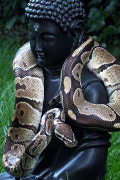 ♛ (buddah,snake)