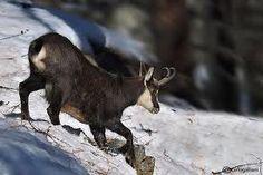 camoscio parco gran paradiso - chamois #valle aosta #vacanze #viaggio #alpi italiane  #Aosta Valley #travel #vacation #Italian Alps # National Park of Gran Paradiso