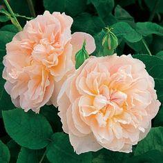 Mary Magdalene - david austin rose - peach/pink