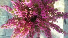 Erica gracilis Plants, Plant, Planets