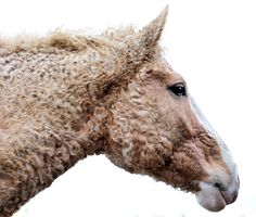 The Bashkir Curly is a hardy breed which comes in a range of conformation and body types. These horses are known for having a great disposition and being willing and kind. The breed comes in a wide range of colors, including pinto and Appaloosa, but the hair of its coat is its most distinctive feature.