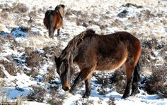 Temperatures plummet in UK today Feb 3rd 2012. Dartmoor Ponies tough it out! Artic freeze! So glad I live in Sunny Florida!