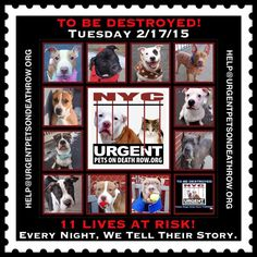 TO BE DESTROYED:11 beautiful dogs to be euthanized by NYC ACC- TUES 02/17/15. This is a VERY HIGH KILL shelter group. YOU may be the only hope for these pups! ****PLEASE SHARE EVERYWHERE!To rescue a Death Row Dog, Please read this:  http://urgentpetsondeathrow.org/must-read/  To view the full album, please click here:  https://www.facebook.com/media/set/?set=a.611290788883804.1073741851.152876678058553&type=3