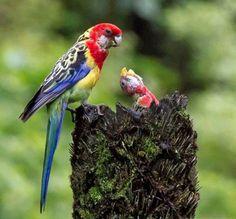Rainbow bird & nestling