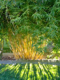 Sun filtering through Bambusa multiplex 'Alphonse Karr', a non-invasive clumping bamboo. This is in the bamboo garden at Mad Man Bamboo Nursery in Ro… - Alles über den Garten