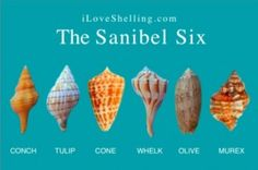 The Sanibel Six - know your shells!