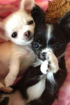 Via I Love Chihuahuas - FB