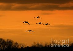 Winter Landing: This photo of a group of Canadian Geese preparing to land in a farm field was taken just after sunset in December 2011 in Pomfret Connecticut.