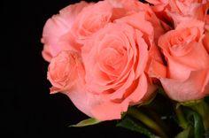 Navkbrar: Coral Roses