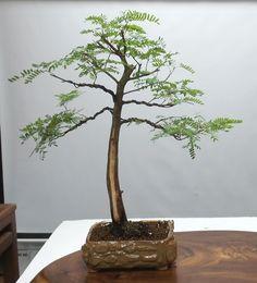 Tamarind Bonsai Tree #439 | Special Edition Bonsai Pot