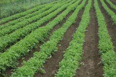Bohatá úroda kvalitného petržlenu: Takto sa z nej budete tešiť aj vy Vineyard, Plants, Outdoor, Gardening, Lawn And Garden, Outdoors, Vine Yard, Vineyard Vines, Plant