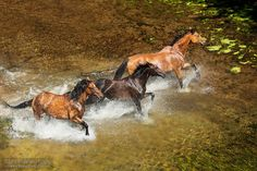 Herd of horses in the water - Herd of horses galloping through the water