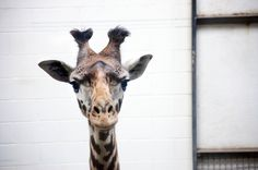 On Saturday, April 25 a very special delivery arrived from the Brevard Zoo in Melbourne, Florida – a two-year-old female Masai giraffe named Noelly who will become party of the breeding group.