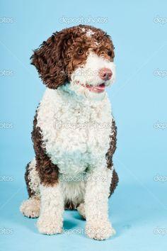 perro de agua espanol. tamaño del pelo.