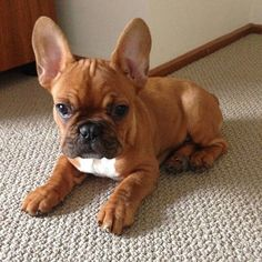 Französische Bulldogge blau French Bulldog Blue All about the Friendly French Bulldog Dogs size # Fawn French Bulldog, French Bulldog Clothes, French Bulldog Puppies, French Bulldogs, French Bulldog Costume, Frenchie Puppies, Baby Bulldogs, English Bulldogs, Cute Puppies