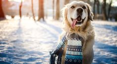 Keep your pet safe, healthy and mobile with these winter safety tips! Pet Supplements, Golden Retriever, Pet Fashion, Pet Safe, Fauna, Pet Health, Health Tips, Dog Behavior, Mans Best Friend