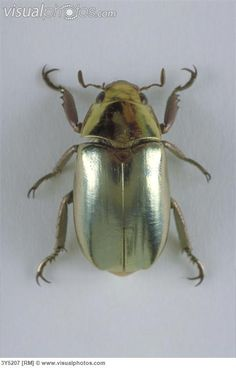 Metallic scarab beetle