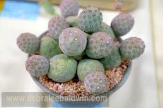 Tephrocactus geometricus [at the Cactus & Succulent Society Show, Los Angeles Arboretum in mid-August, Los Angeles, CA]