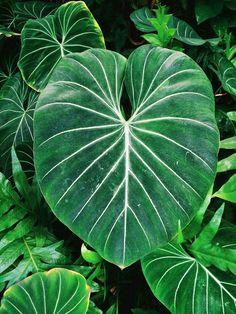 Philodendron gloriusum
