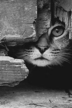 Black and white cat art photo cat-photography Crazy Cat Lady, Crazy Cats, Beautiful Cats, Animals Beautiful, Beautiful Images, I Love Cats, Cute Cats, Funny Cats, Animals And Pets