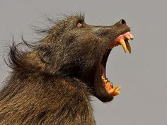 Baboon with its long, sharp canine teeth proudly on display.  YIKES!