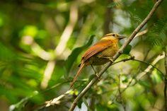 Foto limpa-folha-de-testa-baia (Philydor rufum) por Lucas Toniolo | Wiki Aves - A Enciclopédia das Aves do Brasil