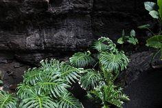 Philodendron Monstera - Jameos del Agua