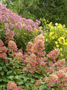 On a recent trip to the Bellevue Botanical Gardens I was blinded by a dazzling display of a golden barberry paired with a kaleidoscopic Pistachio hydrangea – which got me thinking. Evergreen Bush, Landscaping Work, Hydrangea Not Blooming, Home And Garden Store, Buy Plants, Wildflower Seeds, Garden Borders, Foliage Plants, Companion Planting