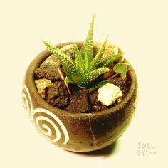 https://flic.kr/p/KZjTMQ | Haworthia en una maceta con dos espirales