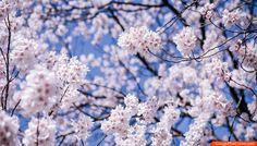 Cherry Flowers Bloom