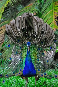Peacock by Sergio Quesada on 500px