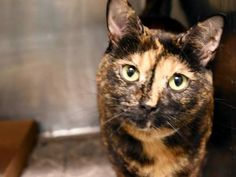 ALLIE - A1083068 - - Manhattan   ***TO BE DESTROYED 09/08/16*** AMAZING ALLIE IS GOING TO DIE FOR A COLD AFTER HER OWNER DUMPED HER FOR A PET CONFLICT!! ALLIE is a 4 year old tortie girl who was said to be friendly and outgoing. Why the ACC put down her surrender reason is BITE PEOPLE is a mystery because the owner stated PET CONFLICT. Well needless to say, ALLIE now has the kitty cold and will be killed for it. A staff member writes: Allie is a purr machine! This big, plus